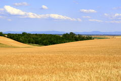 kornfält Arkivbild