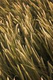 kornfält royaltyfria foton