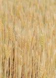 Kornfält av den åkerbruka lantliga platsen Arkivfoton
