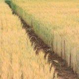 Kornfält av jordbruk Fotografering för Bildbyråer