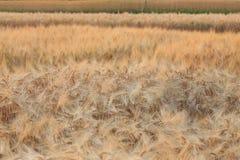 Kornfält av jordbruk Arkivfoton
