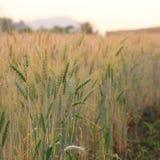 Kornfält av jordbruk Royaltyfri Bild