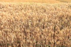 Kornfält av jordbruk Royaltyfria Foton