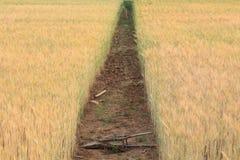 Kornfält av jordbruk Royaltyfri Fotografi