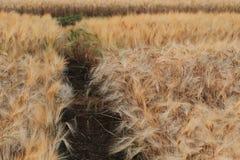 Kornfält av jordbruk Arkivbilder