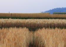 Kornfält av jordbruk Arkivfoto