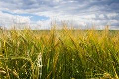 Kornfält för skörd på sommar Royaltyfri Fotografi