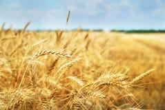 Kornfält. Foto som tas på 01.07.2013 Arkivfoton