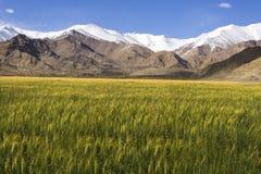 Kornfält framme av berget Arkivfoto