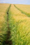 Kornfält i Cotswolds arkivbild