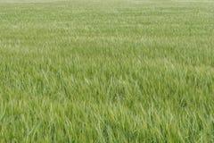 Kornfält i den mognande processen arkivfoton
