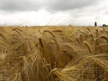 Kornfält i en regnig dag Arkivfoto