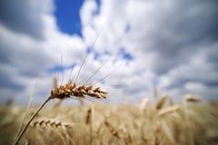 Kornfält i Juni Korn med öron som är klara för att skörda Royaltyfri Bild