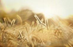 Kornfält i solen royaltyfri bild
