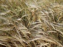 Kornfält i vinden arkivbild