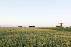 Kornfält med den holländska väderkvarnen på bakgrunden Arkivbilder