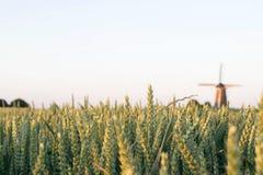 Kornfält med den holländska väderkvarnen på bakgrunden Royaltyfri Foto