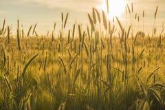 Kornfält med en inställningssol Arkivfoto