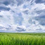 Kornfält med molnig himmel Royaltyfri Fotografi