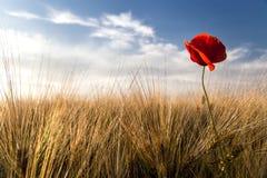 Kornfält med vallmo Arkivfoton