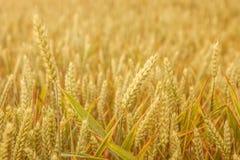 Kornfält med vete, närbild Arkivfoton