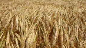 Kornfält nästan skörden arkivbild