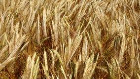 Kornfält nästan skörden fotografering för bildbyråer