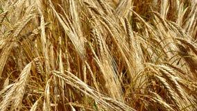 Kornfält nästan skörden arkivfoton