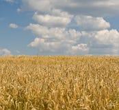 Kornfält och blå himmel Arkivfoto