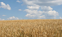 Kornfält och blå himmel Arkivfoton