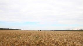 Kornfält och skördetröska arkivfilmer