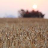 Kornfält och solnedgången av den lantliga platsen Arkivfoto