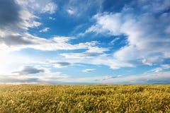 Kornfält på en solig dag Royaltyfri Bild