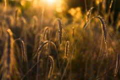 Kornfält på solnedgångslutet upp Arkivfoton