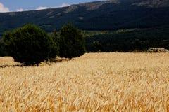 Kornfeld mit Bäumen, während des Sommers mit einem Hintergrund von Bergen in Spanien lizenzfreie stockbilder