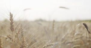 Kornfeld mit dem Weizen oder Roggen bereit zur Ernte Stockfotografie