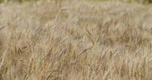 Kornfeld mit dem Weizen oder Roggen bereit zur Ernte Stockfotos
