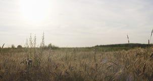 Kornfeld mit dem Weizen oder Roggen bereit zur Ernte Lizenzfreie Stockfotografie