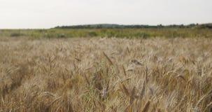 Kornfeld mit dem Weizen oder Roggen bereit zur Ernte Stockbilder