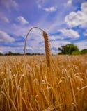 Kornhavre i ett sommarfält arkivbild