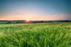 Kornische Gersten-Felder Stockfotos
