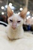 Kornische Rex-Katze an der internationalen Ausstellung Ketsburg in Moskau, Russland Stockfotografie