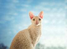 Kornische Rex-Katze, die gerade schaut Lizenzfreie Stockfotografie