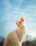 Kornische Rex-Katze, die nach links schaut Lizenzfreie Stockbilder