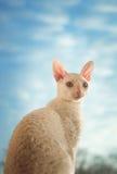 Kornische Rex-Katze, die recht schaut Lizenzfreie Stockfotos
