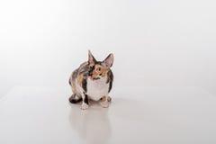 Kornischer Rex Cat Sitting auf dem weißen Schreibtisch Weißer Hintergrund Öffnen Sie Mund und oben schauen Stockfoto