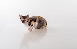 Kornischer Rex Cat Sitting auf dem weißen Schreibtisch Weißer Hintergrund Gerade schauen Lizenzfreies Stockfoto
