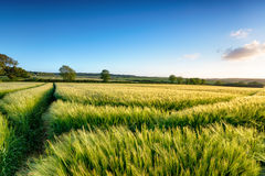 Kornisches Gersten-Feld Lizenzfreie Stockbilder