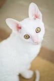 Kornisches Rex Kätzchen, das Kamera betrachtet Lizenzfreie Stockfotos