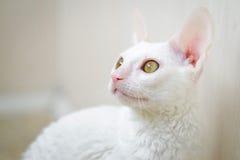 Kornisches Rex Kätzchen, das nach links schaut Lizenzfreie Stockfotografie
